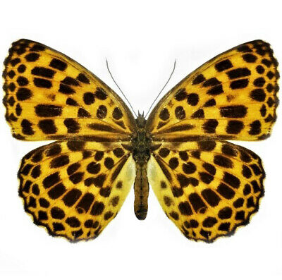 One Real Butterfly Timelaea Maculata Spotted Leopard China Wings Closed
