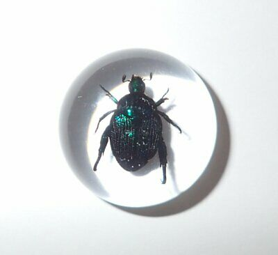 Insect Cabochon Blue Cockchafer Beetle Round 25 mm Clear 1 piece Lot