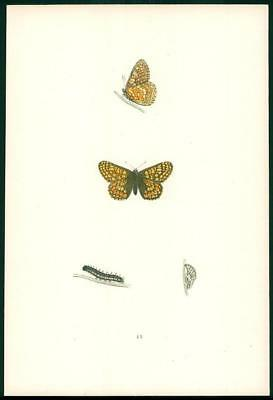 1908 Original Antique Hand Coloured Print GREASY FRITILLARY Butterfly (045)