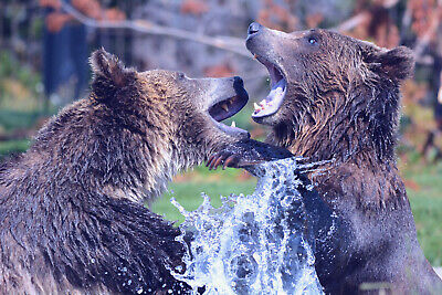 """Digital Picture-Photo-Wallpaper """"Bears-Grizzly"""""""