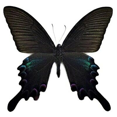 One Real Butterfly Papilio Bianor Swallowtail China Unmounted Wings Closed