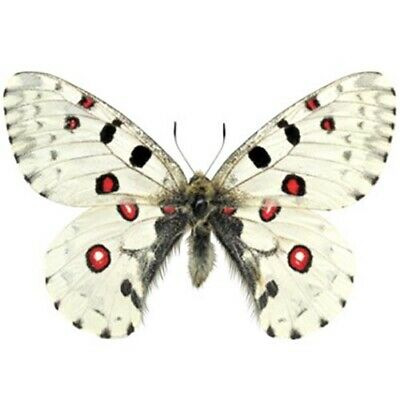 One Real Butterfly Parnassius Nomion Red White China Unmounted Wings Closed