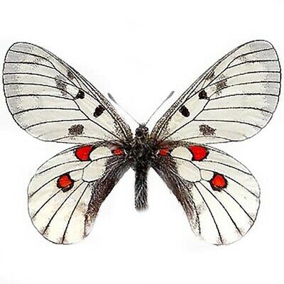 One Real Butterfly Parnassius Bremeri Red White China Unmounted Wings Closed