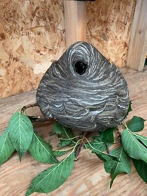 Real Paper Wasp Hornet Nest Large Taxidermy Bees Decor Science School, Man Cave