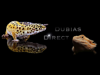 XL Dubia Roaches For Bearded Dragons