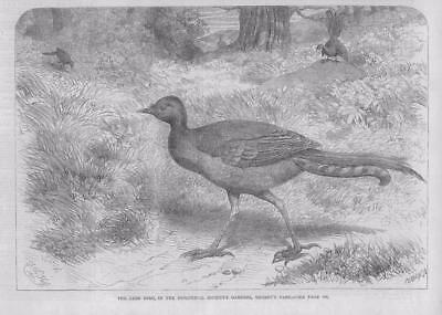 1867 - Antique Print LONDON Regents Park Zoological Society Lyre Bird  (022)