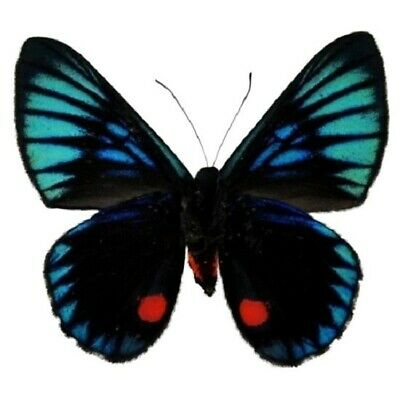 One Real Butterfly Blue Red Necyria Duellona Peru Unmounted Wings Closed