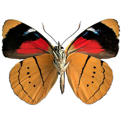 One Real Butterfly Gold Yellow Perisama Humboldtii Peru Unmounted Wings Closed