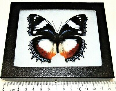 Real Framed Butterfly Red White Blue Hypolimnas Dexithea Madagascar