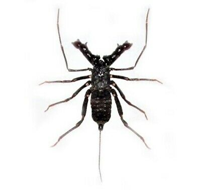 Real Stygophrynus Whip Scorpion Indonesia