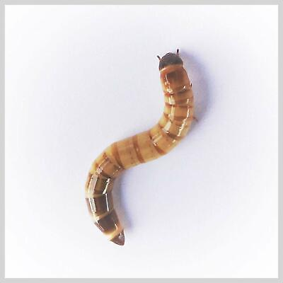 1000 Live Large Super Worms - Free Shipping