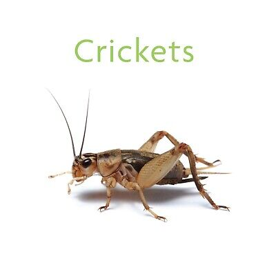 1000, 2000+ Live Crickets (Acheta)+ All Sizes - Guarantee live delivery