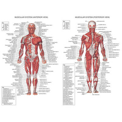 Muscular System Anatomical Poster Muscle Spinal Nerves Anatomy Wall Poster Decor