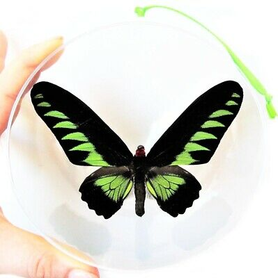 Real Green Trogonoptera Brookiana Birdwing Butterfly Christmas Ornament Gift