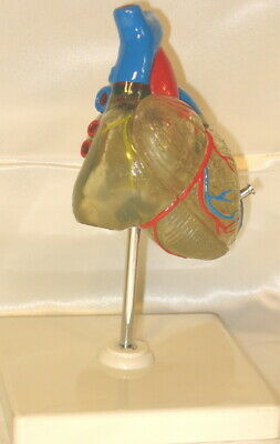 Transparent heart anatomy medical anatomical model life size teaching student