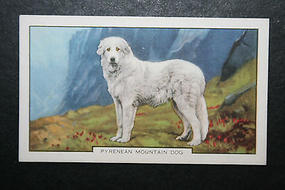 Pyrenean Mountain Dog  #  1930's Vintage Coloured Card