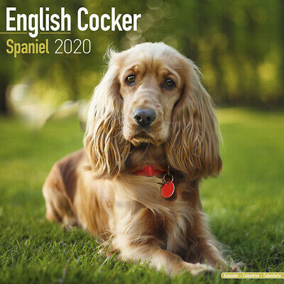 Kalender 2020 English Cocker Spaniel Englischer Cocker Dog Hund Wandkalender