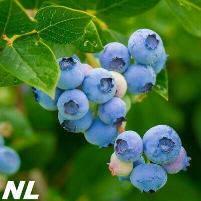 100Pcs Blueberry Fruit Tree Seeds Delicious Sweet Variety Natural Edible Plant
