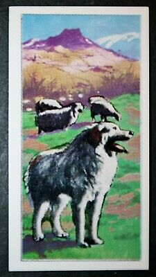 PYRENEAN MOUNTAIN DOG   Superb Coloured Card