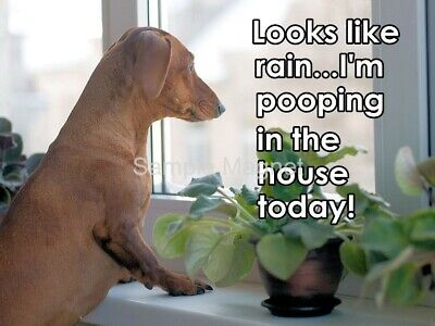 """DACHSHUND Pooping in the House Today Funny Fridge Magnet 4"""" x 3"""""""