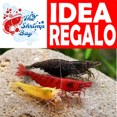 IDEA REGALO LOTTO 11 x NEO CARIDINA CARIDINE ALTISSIMA QUALITA' + ACCESSORI