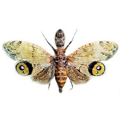 One Real Fulgora Laternaria Peanut Head Fulgorid Peru Unmounted Wings Closed