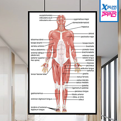 Muscular System Human Chart Muscle Anatomy Chart Body Educational Poster Print