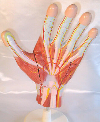 Human hand dissection medical anatomical teaching model human anatomy New