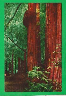 Postcard ~ Muir Woods national Monument mill Valley, CA ~ Vintage 9765