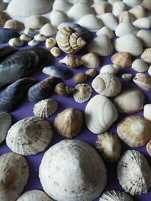 100+ shells in a mix of shapes and sizes, crafts