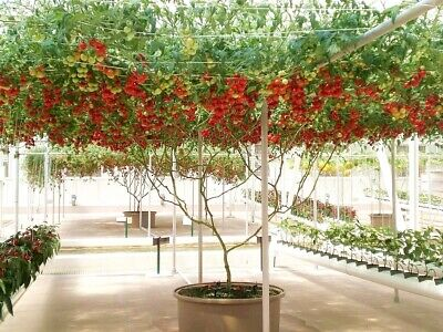 50Pcs Giant Tomato Tree Seeds ALBERO GIGANTE DI POMODORO Home Garden Big Harvest