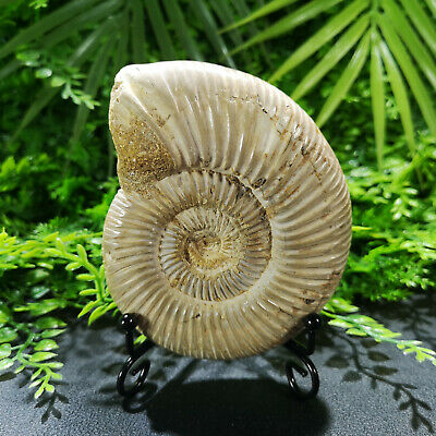 Natural Ammonite Fossil Conch Specimen Quartz Crystal Healing+stand