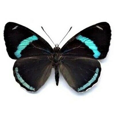 One Real Butterfly Blue Black Diaethria Clymena Peru Unmounted Wings Closed