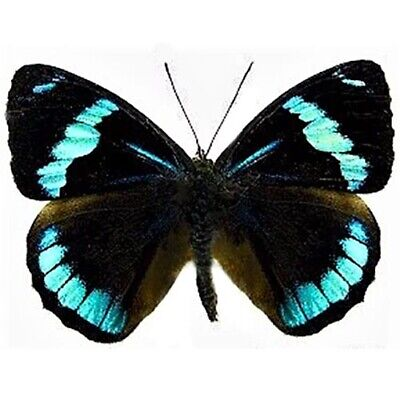 One Real Butterfly Blue Black Perisama Euriclea Unmounted Wings Closed Peru