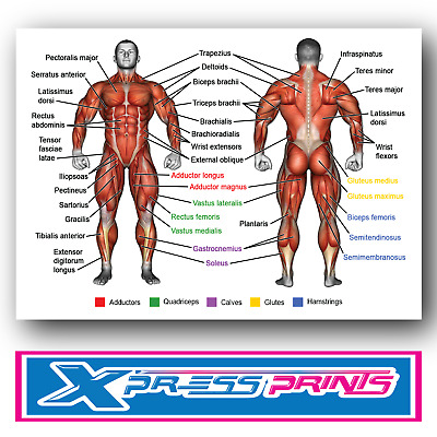 HUMAN ANATOMY MUSCLES OF THE BODY Poster Print Weight Training A3 A4 Laminated