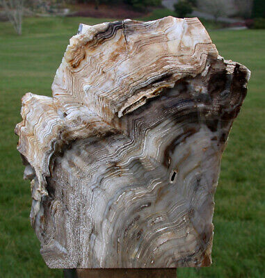 SiS: MASSIVE 6 lb. Petrified Wood Standing Sculpture from Saddle Mtn. Washington