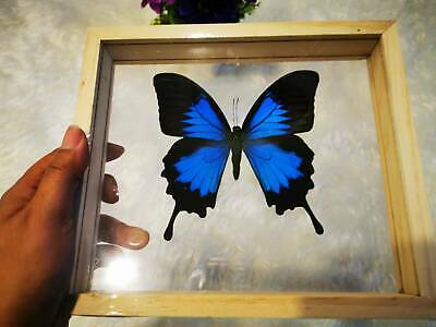 Real Butterfly Papilio Ulysses Beautiful Taxidermy Insect Frame Home Decor