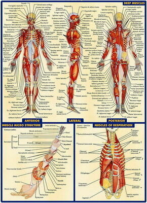 256754 Human System Body Anatomical Chart Muscular Skeletal GLOSSY POSTER AU