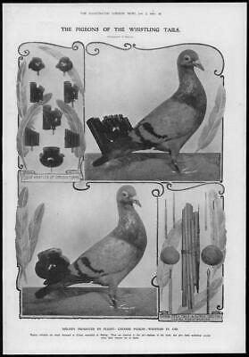 1909 Antique Print - BIRDS Pigeon Whistling Tails Chinese Bamboo Pipes (150)