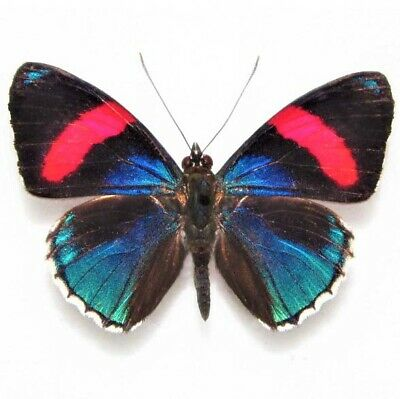 One Real Butterfly Pink Blue Callicore Hesperis Unmounted Wings Closed
