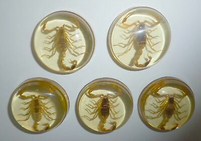 Insect Cabochon Golden Scorpion 39 mm Round inner 36 mm Amber clear 5 pieces Lot