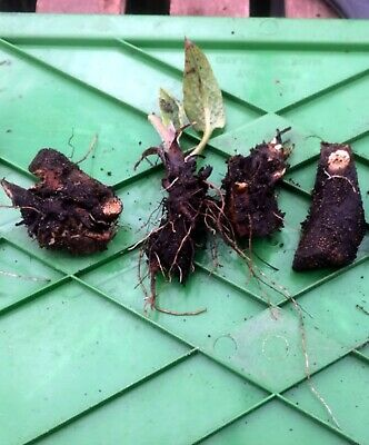 Comfrey Roots Organic X 4 Roots   (approx  5 cm each piece)   - Bocking 14
