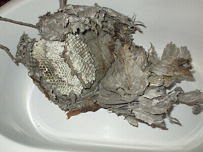 "12"" OPEN Bald Face Hornet Nest Home Hive For MAN CAVE Taxidermy Paper Wasp"