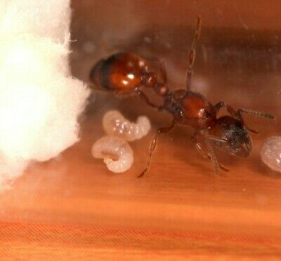 Manica rubida queen ant and brood (Giant European Red Ant)