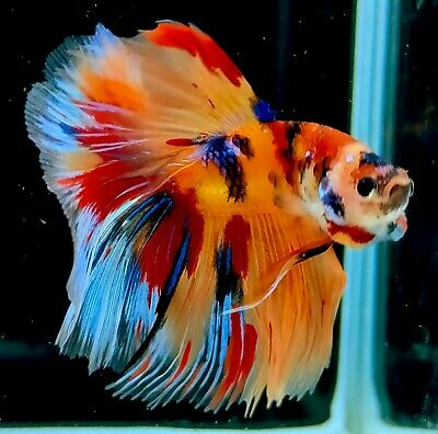 Live Betta Fish HM Fancy Nemo candy Multi Color Thailand breeders 066