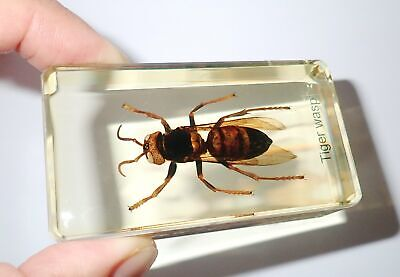 Tropical Tiger Hornet Named Specimen in 73x40x20 mm Amber Clear Paperweight