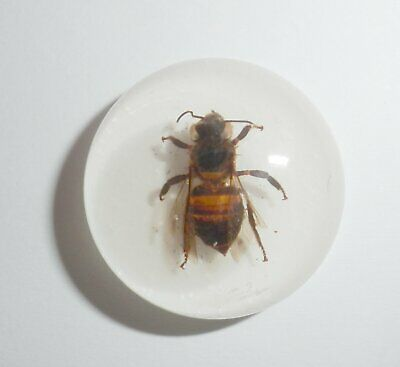 Insect Cabochon Honey Bee Apis mellifera Round 25 mm white 1 piece Lot
