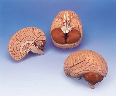 NEW 3B Scientific Anatomical Whole Brain 2-Parts C15