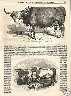 Hereford Ox And Short Horn Bull And Cow 1854 Antq Print