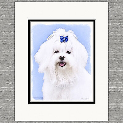 Maltese Dog Original Art Print 8x10 Matted to 11x14